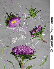 purple chrysanthemum flowers on a gray background
