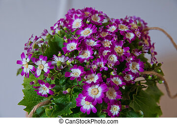 Flowers: Purple and white Cineraria. Magenta asters flowerbed. Shallow Depth Of Field. purple followers bonteque