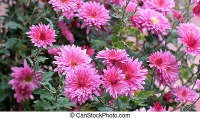 Purple chrysanthemum shakes a gentle breeze