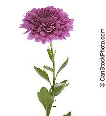 Purple Chrysathemum
