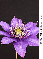 purple clematis flower on a black background