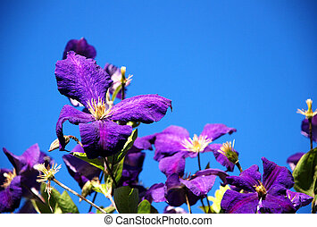 Purple clematis flowers against a blue sky