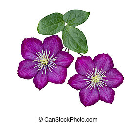 Purple clematis isolated on white background