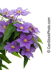 Purple Clematis - Purple clematis vine isolated over a white...
