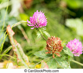 purple clover flowers in nature
