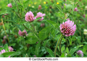 Purple Clover Flower, Trifolium, blooms in a meadow in the Midwestern United States of America.