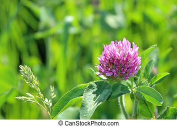 Purple clover with green grass background
