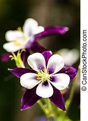 Purple columbine flowers blooming in garden