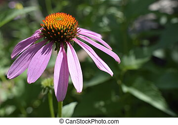 Purple coneflower, Echinacea purpurea, blossom