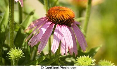 Purple coneflower, Echinacea purpurea, medicinal plant with flower