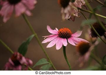 Purple Coneflower Echinacea purpurea - Echinacea purpurea is...