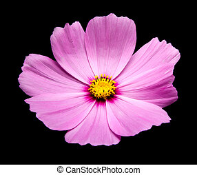 Purple Cosmos flowers against black background.