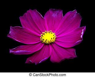 Purple Cosmos flowers against black background.