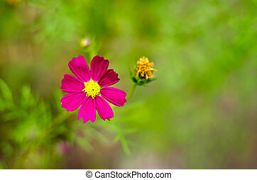 Purple cosmos flowers blooming in the garden