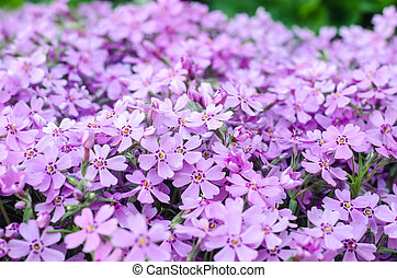 Purple creepeing phlox subulata flowers.