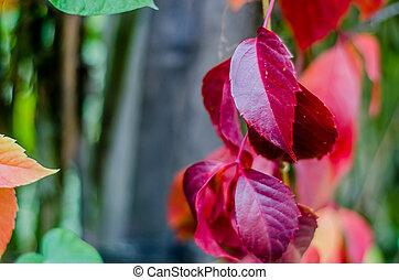 Purple creeper leaves closeup. Background of Autumn.
