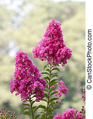 Purple Crepe Myrtle blossoms in the summer against a green background