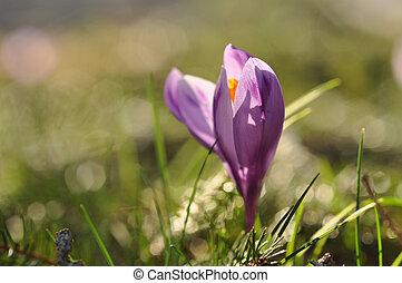 Purple crocus flower blooming