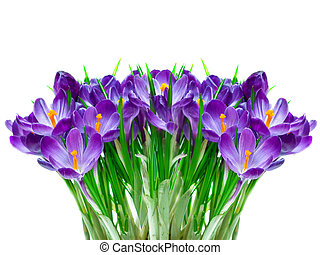 Purple crocus flower - Purple crocus isolated on white...