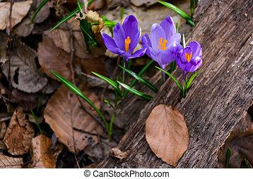 purple crocus flowers among the weathered foliage. beautiful...