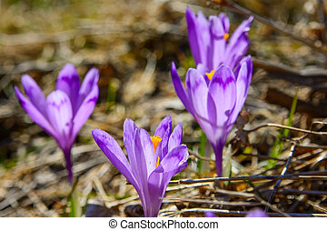 Purple Crocus flowers blooming in the spring