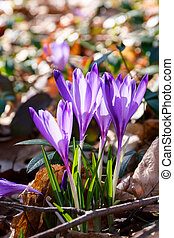purple crocus flowers in forest - purple crocus flowers...