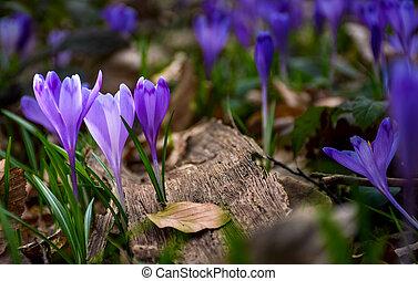 purple crocus flowers in forest - purple crocus flowers on...