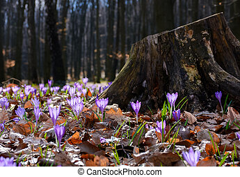 purple crocus flowers near the stump. beautiful springtime...