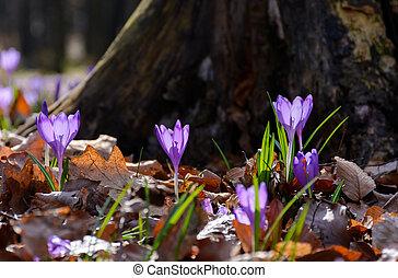 purple crocus flowers near the stump. beautiful springtime...