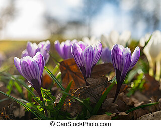 Purple Crocus Nevadensis Blooming in Spring Time - Purple...