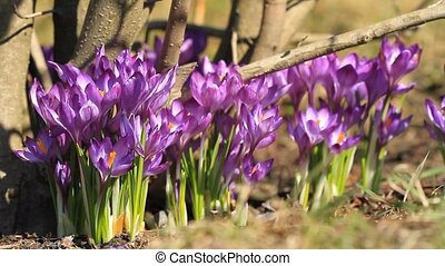 Purple crocuses bloom in springtime near the tree