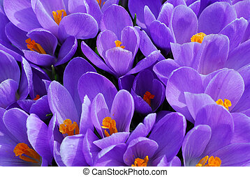 Purple crocuses closeup