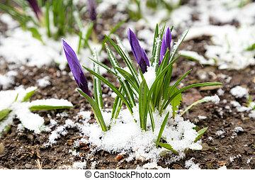 Purple crocuses under snow