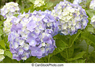 Purple curd flower ball with leaves