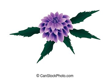 Purple Dahlia Flower on A White Background