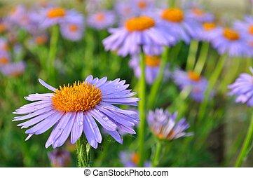 Purple daisy (marguerite) in garden