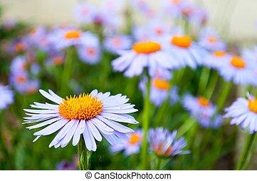 Purple daisy (marguerite) in the garden