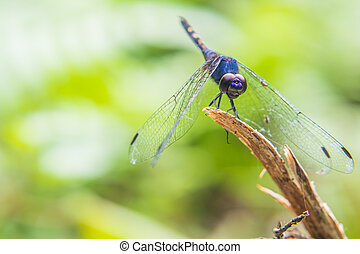 Purple dragonfly perched on twigs.