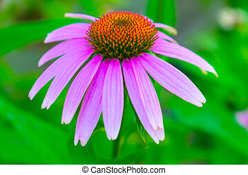 Purple Echinacea, daisy flower on blurred green background. Close-up.