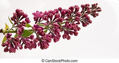 purple elderberry flowers