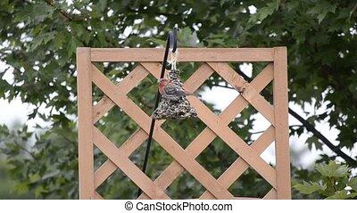Purple Finch on a bird feeder 2 - Purple Finch (Haemorhous...