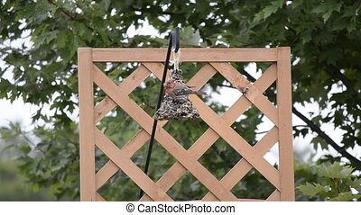 Purple Finch on a bird feeder 3 - Purple Finch (Haemorhous...