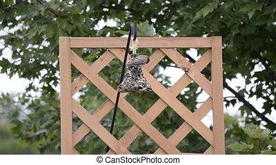 Purple Finch on a bird feeder 4 - Purple Finch (Haemorhous...