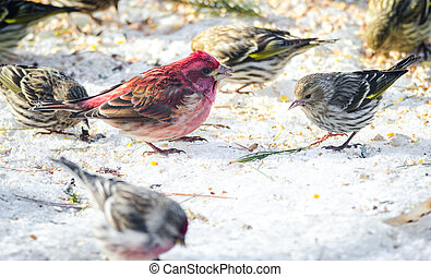 Purple finches (Haemorhous purpureus) at a feeder.  Springtime comes, bird seed aplenty.