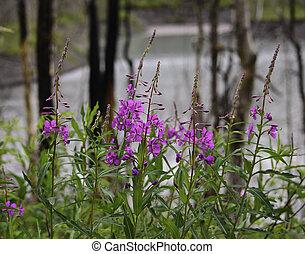 Purple fireweed