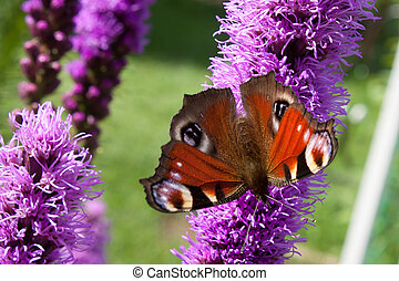 Purple floral background with butterfly peacock eyes