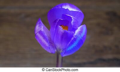 Purple flower blossoming - Isolated flower blooming...