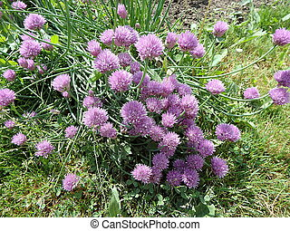 Purple flower chives in the spring garden