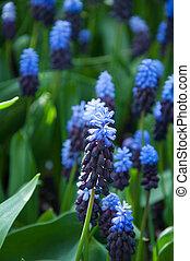 Purple Flower Grape Hyacinth Muscari Latifolium