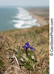 Purple flower grows on cliff over Pacific Ocean